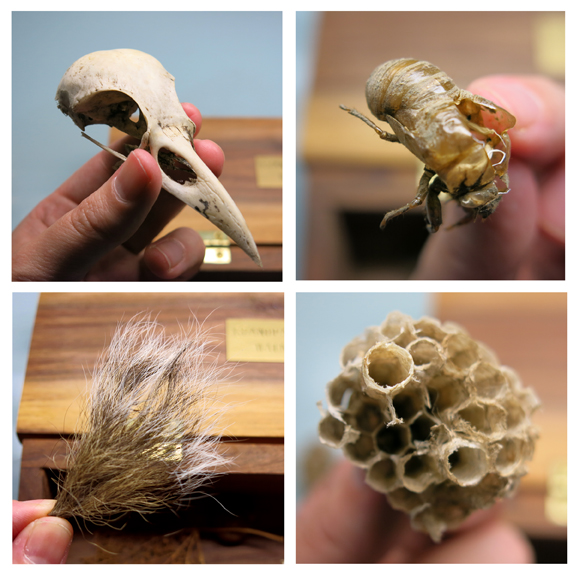 Top left: raven's skull, top right: molted cicada exoskeleton, bottom left: squirrel tail, bottom right: paper wasp's nest