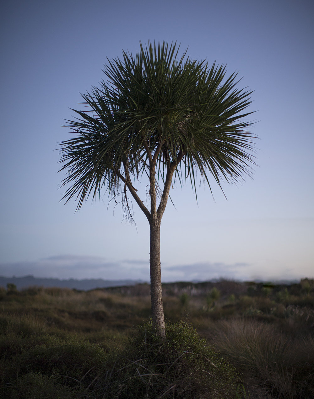 Cabbage_Tree_V1.jpg
