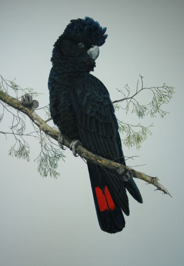 BIG RED (BLACK COCKATOO)