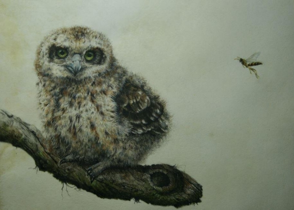UNCERTAIN ENCOUNTER (BABY BOOBOOK OWL)