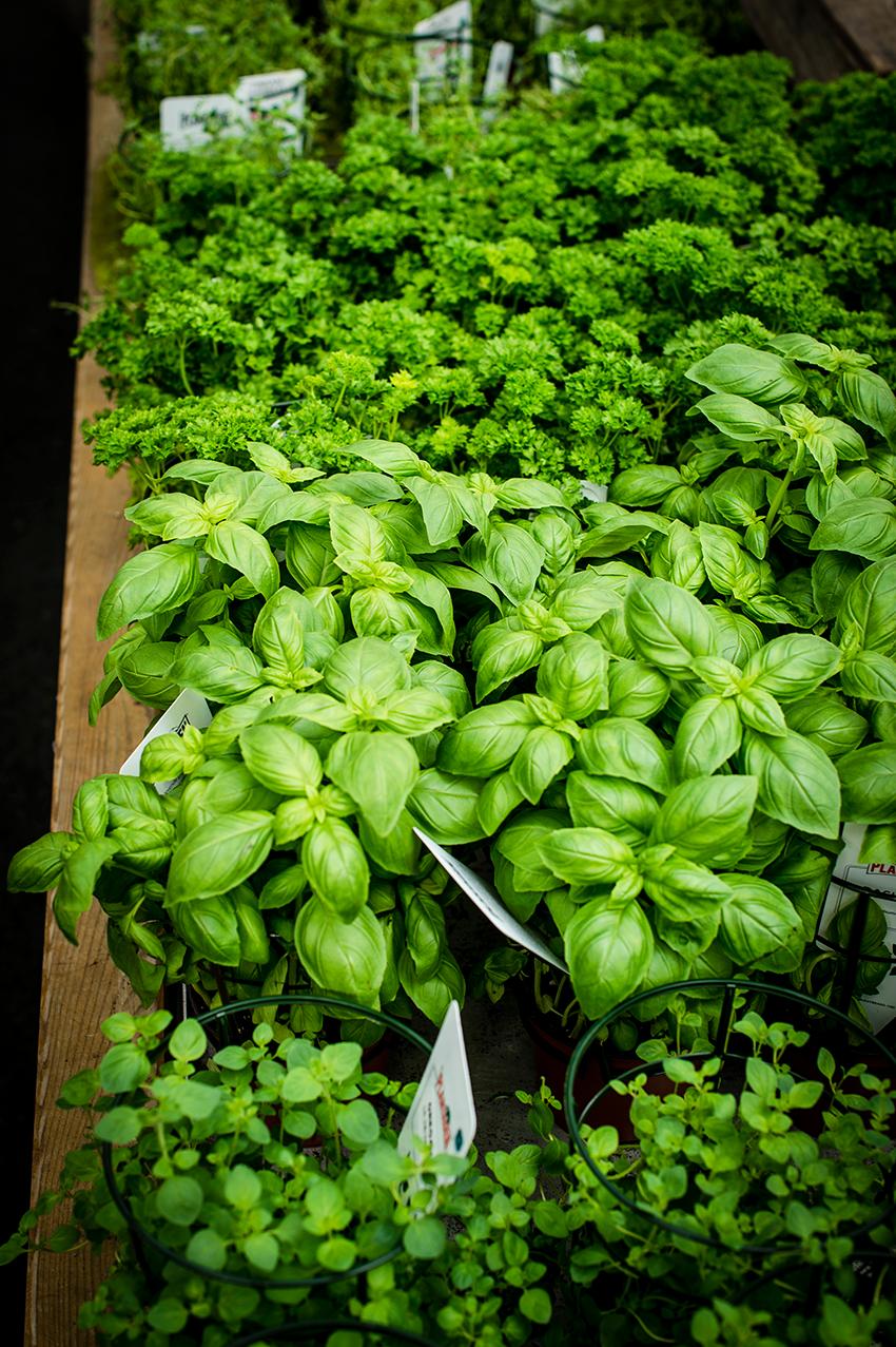 Om du ikke sår dem selv; kjøp krydderplantene på hagesenter og ikke på matbutikken. Da får du planter som står seg bedre.