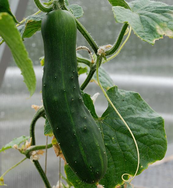 Agurk og alle andre varmekjære planter gir best resultat av å stå i et veksthus hele sommeren.