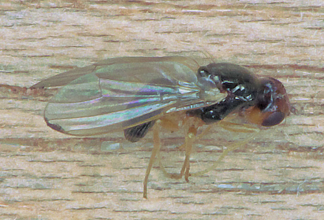 Gulrotflue   ( Psila rosae )  Foto:Rasbak/Wikipedia