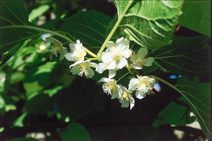 Om du sliter med å få frukter :Blomstene på actindia kolomicta dufter ihvertfall herlig.