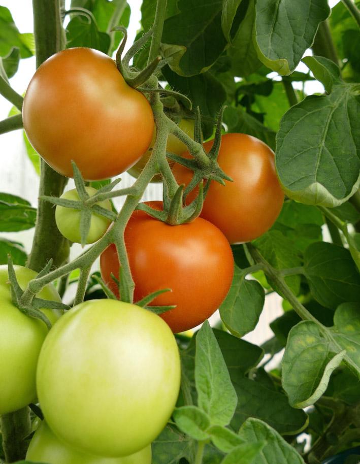 Det at tomatplanten setter frøstander en forutsetning for å høste frukten.