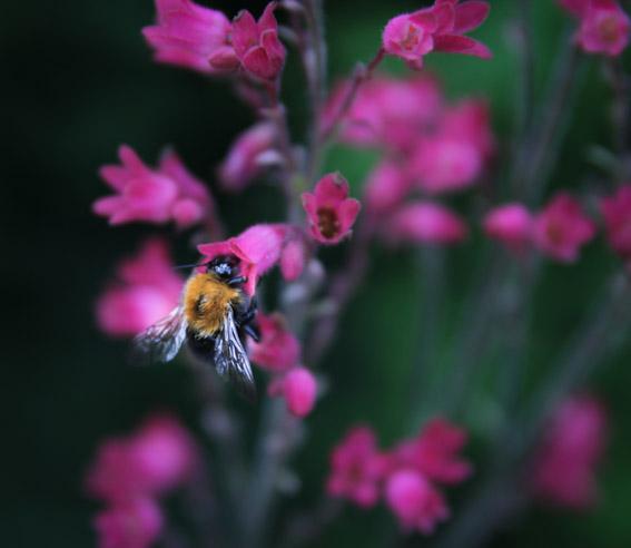 Humler er hjertelig velkomne i hagen ! Foto: Jens Fremming Anderssen
