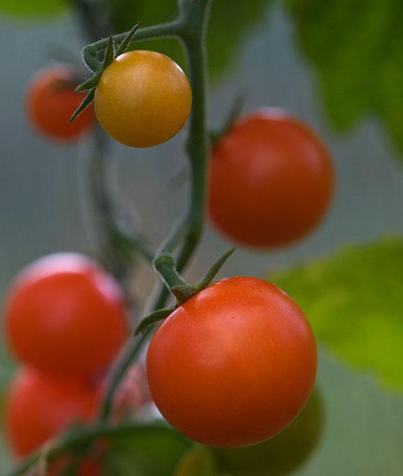 tomat hageselskapets kjøkkenhage