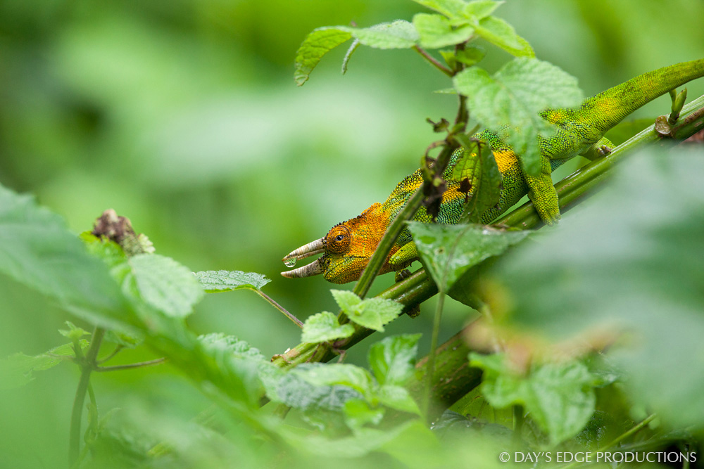 A male Rwenzori Three-horned Chameleon ( Trioceros johnstoni ) in Rwenzori Mountains National Park, Uganda.