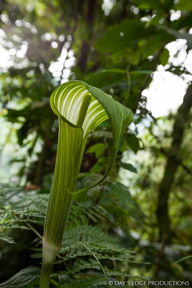 A Snake's Head Arum ( Arisaema mildbraedii ) flower in the montane forest of Rwenzori Mountains National Park, Uganda.