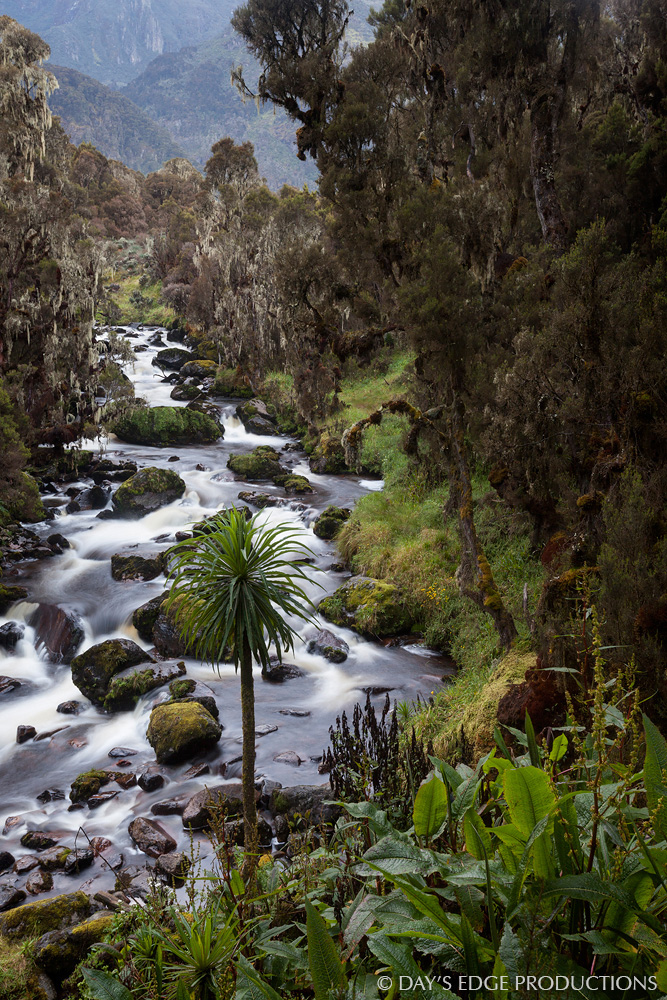 The Bujuku River flows through the heather zone, a habitat characterized by giant heather trees draped in mosses and lichens, in Rwenzori Mountains National Park, Uganda.