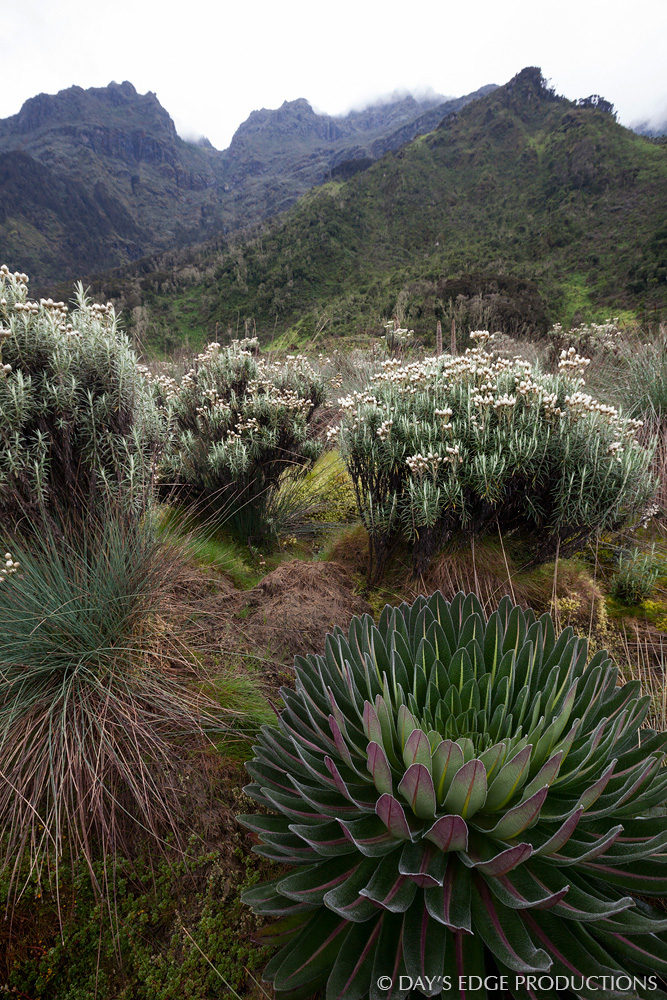 A giant lobelia ( Lobelia deckenii ) and everlasting flowers ( Helichrysum  sp.) in Rwenzori Mountains National Park, Uganda.
