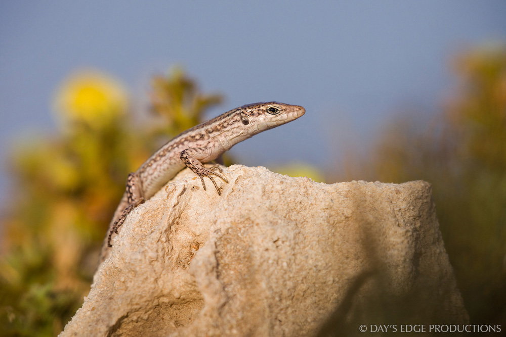 A juvenile Ibiza wall lizard ( Podarcis pityusensis formenterae ). Photographed on the Trucadors peninsula of Formentera, in Spain's Balearic Islands.