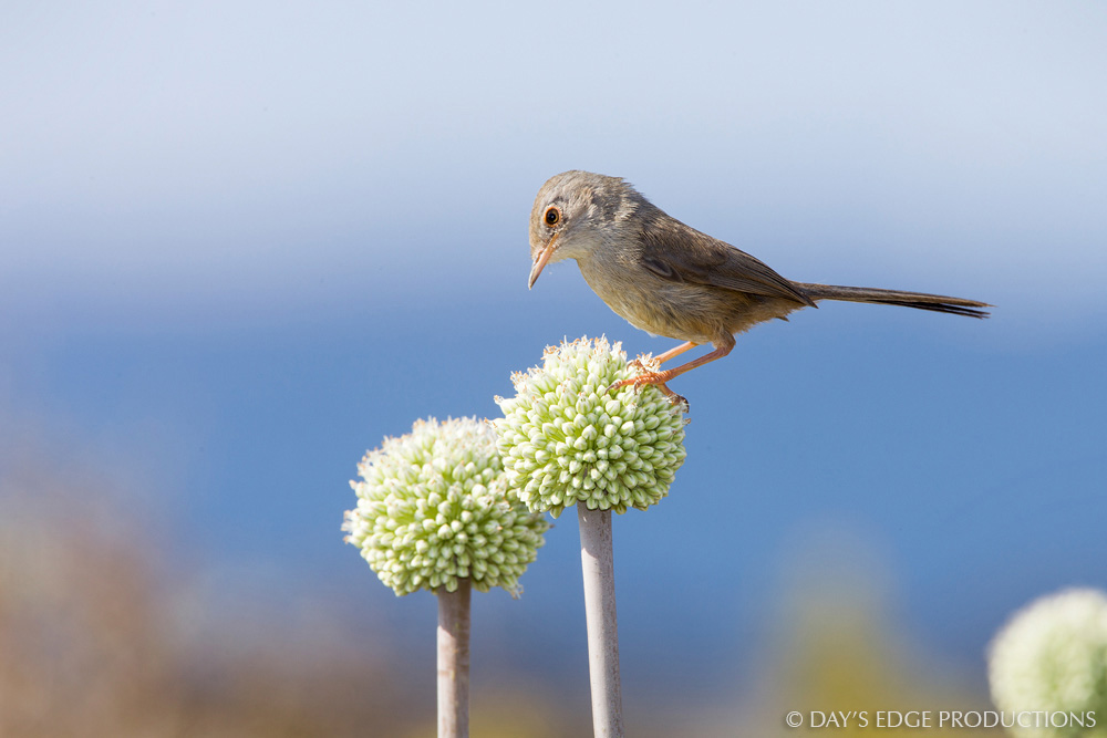 A Marmora's Warbler ( Sylvia sarda ) feeding on wild onion ( Allium ampeloprasum ) on the small island of Negra Norte near Formentera, in Spain's Balearic Islands.