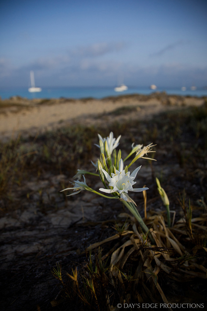 A sea daffodil ( Pancratium maritimum ) blooms on the Trucadors peninsula on the island of Formentera, in Spain's Balearic Islands.