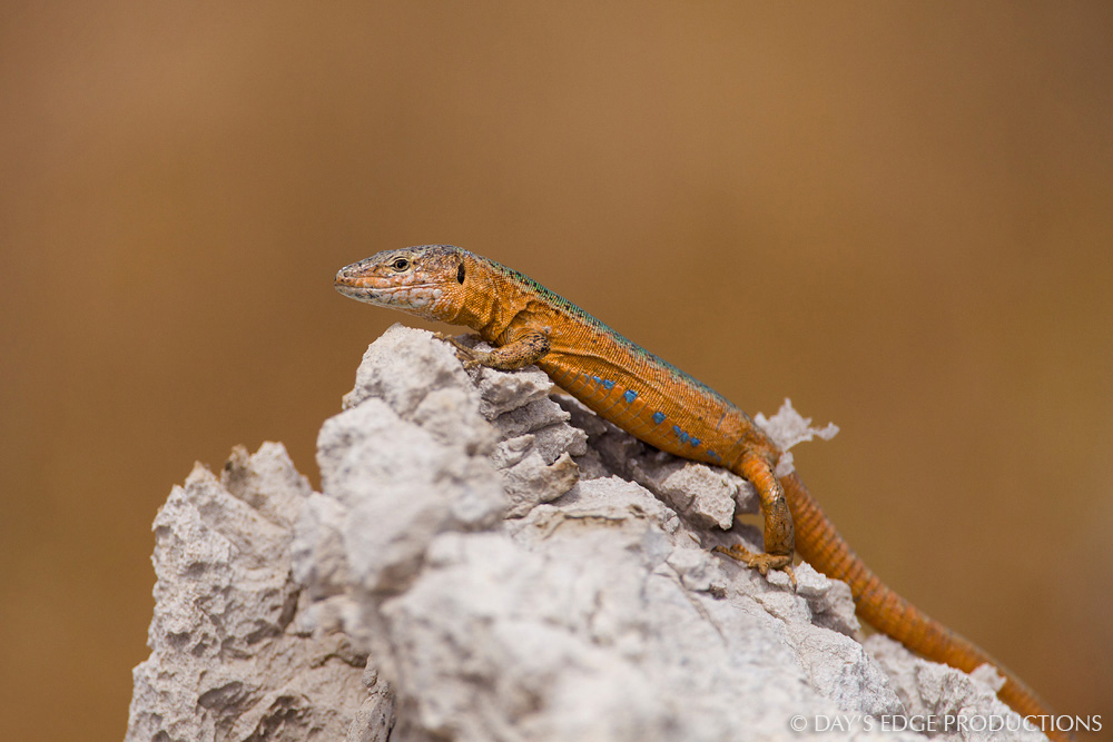 An orange male Ibiza wall lizard ( Podarcis pityusensis calaesaladae ). Photographed on the island of Cala Salada near Ibiza, in Spain's Balearic Islands.