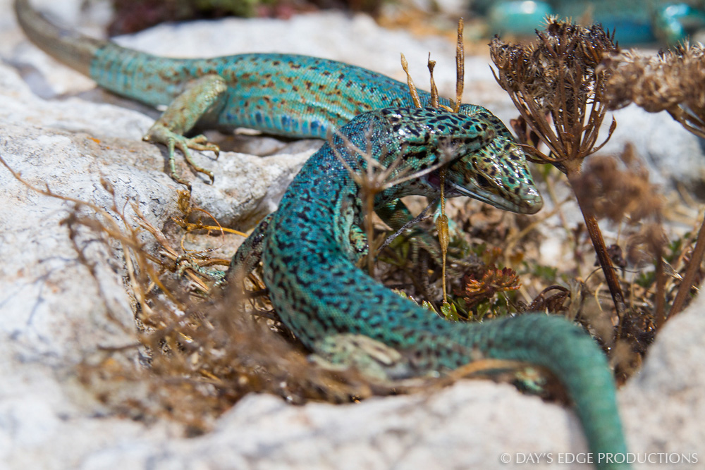 A male Ibiza wall lizard ( Podarcis pityusensis formenterae ) bites another male's head in a fight over food. Photographed at the Cap de Barbaria on the island of Formentera, in Spain's Balearic Islands.