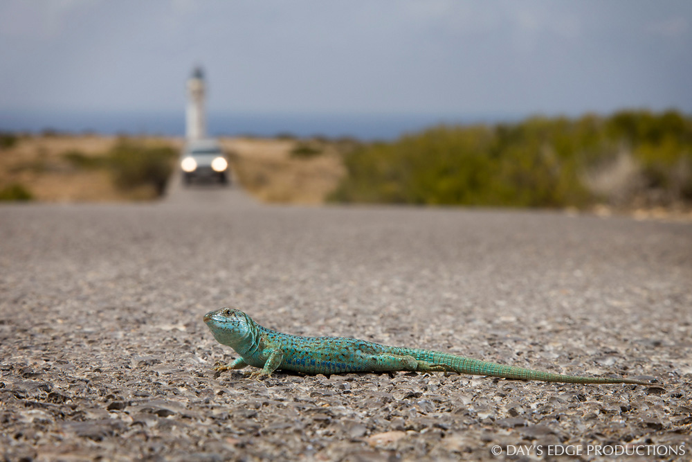 A male Ibiza wall lizard ( Podarcis pityusensis formenterae ) crosses a road. Photographed at the Cap de Barbaria on the island of Formentera, in Spain's Balearic Islands.