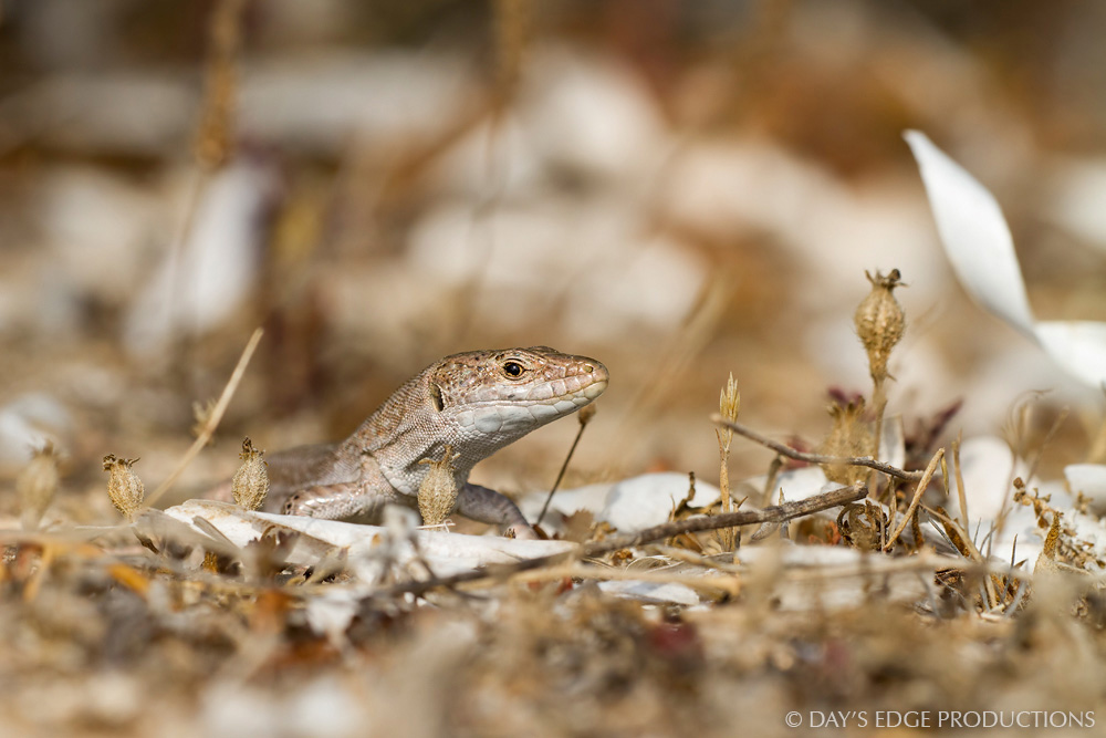 A male Ibiza wall lizard ( Podarcis pityusensis formenterae ) among dried Posidonia seagrass leaves. Photographed on the Trucadors Peninsula of Formentera, in Spain's Balearic Islands.