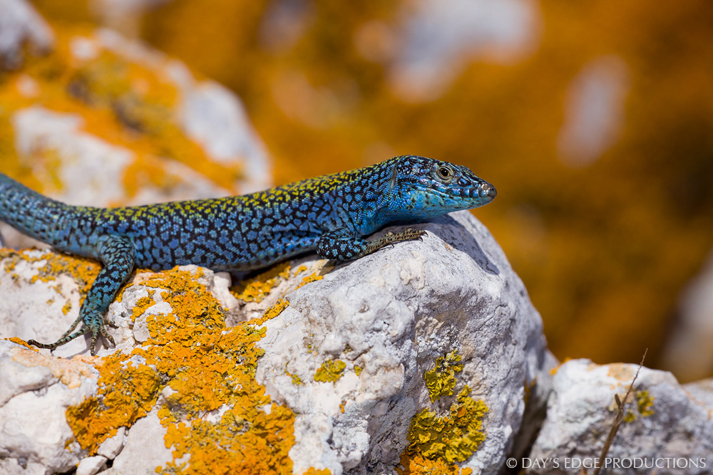 A male Ibiza wall lizard ( Podarcis pityusensis vedrae ). Photographed on Illa Es Vedrà near Ibiza, in Spain's Balearic Islands.