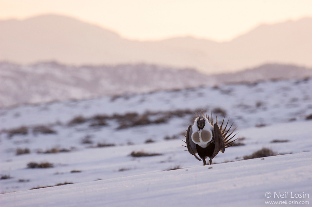A male Greater Sage-Grouse ( Centrocercus urophasianus ) performs his courtship display on a grouse display ground, or lek, near Boulder, Wyoming. The Wind River Mountains are in the background.