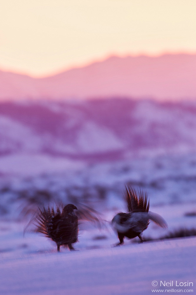 Two male Greater Sage-Grouse ( Centrocercus urophasianus ) fight at dawn on a grouse display ground, or lek, near Boulder, Wyoming. The Wind River Mountains are visible in the background.