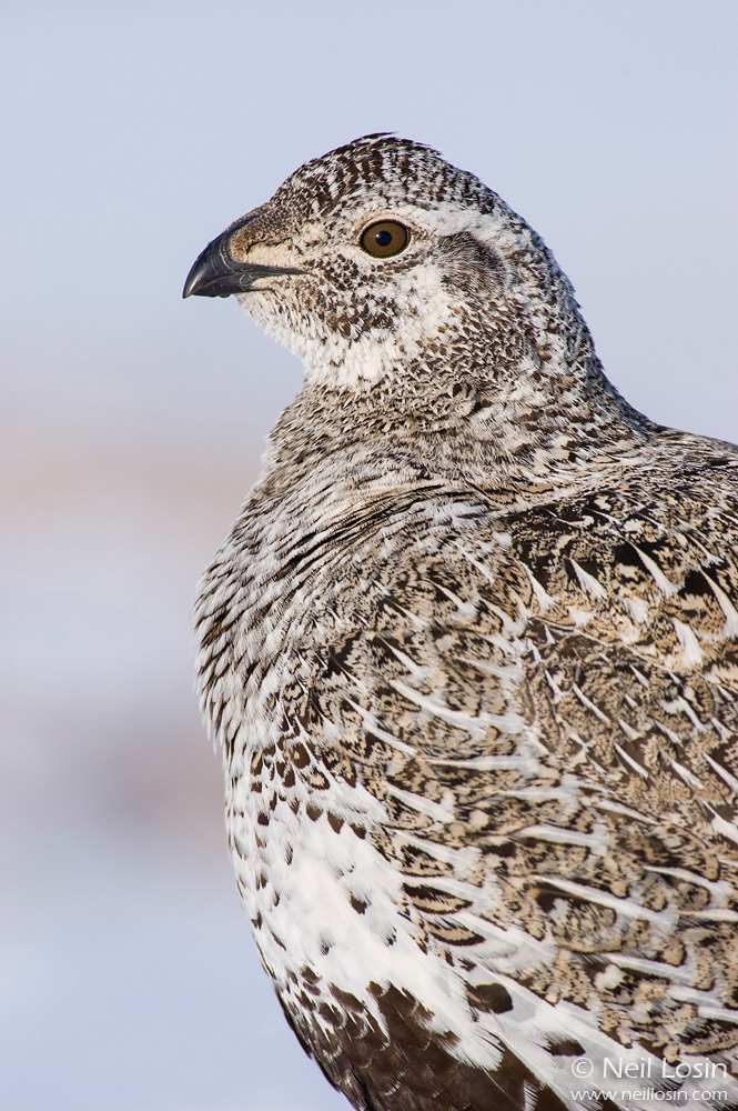 A female Greater Sage-Grouse ( Centrocercus urophasianus ) on a grouse display ground, or lek, near Hudson, Wyoming.