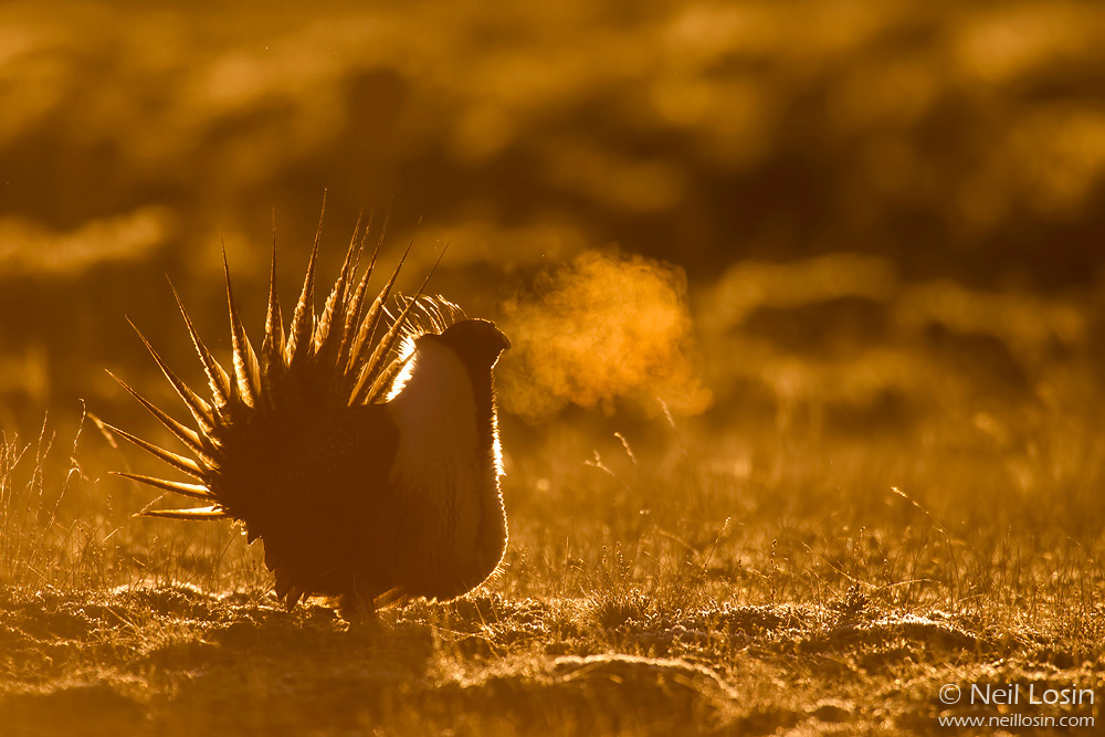 A male Greater Sage-Grouse ( Centrocercus urophasianus ) exhales forcefully at sunrise, its breath condensing in the cold spring air. Photographed on a grouse display ground, or lek, near Boulder, Wyoming.