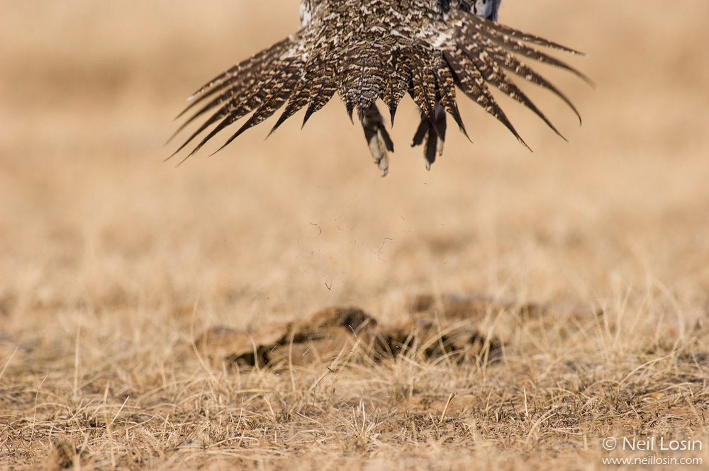 A male Greater Sage-Grouse ( Centrocercus urophasianus ) leaves a grouse display ground, or lek, near Hudson, Wyoming.