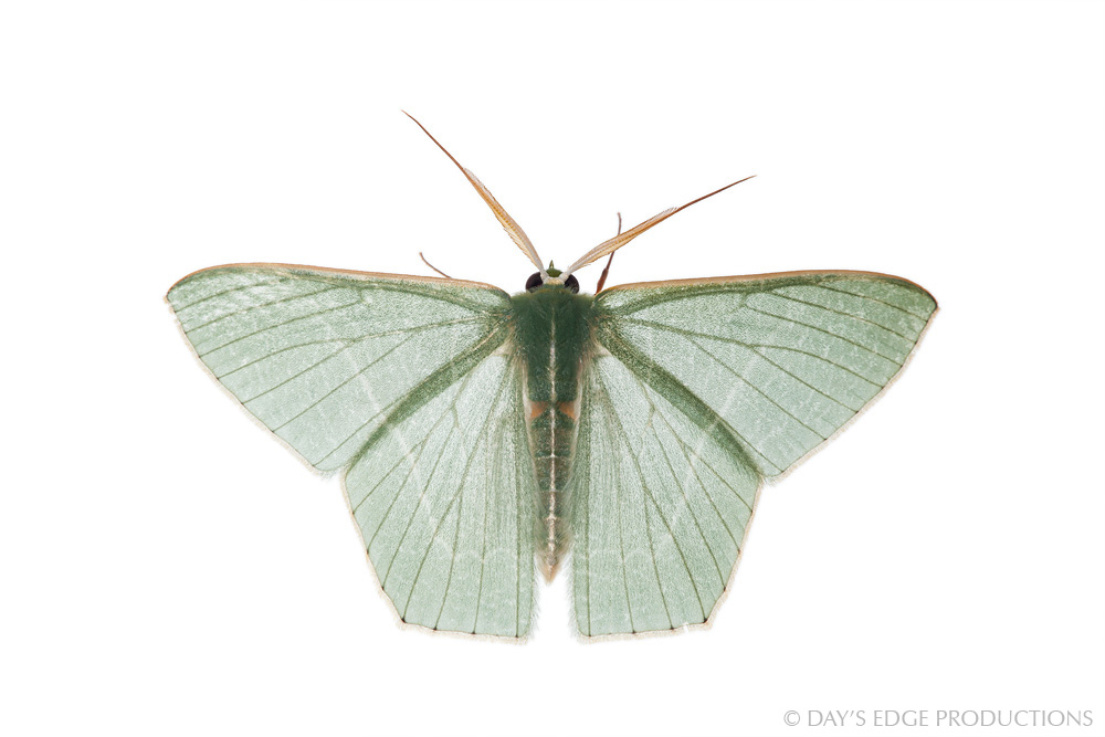 This beautiful mint-green moth (family Geometridae) was attracted to the lights of our lodge in the town of Kirakira, Makira Province, Solomon Islands. Photographed for the Meet Your Neighbours project.