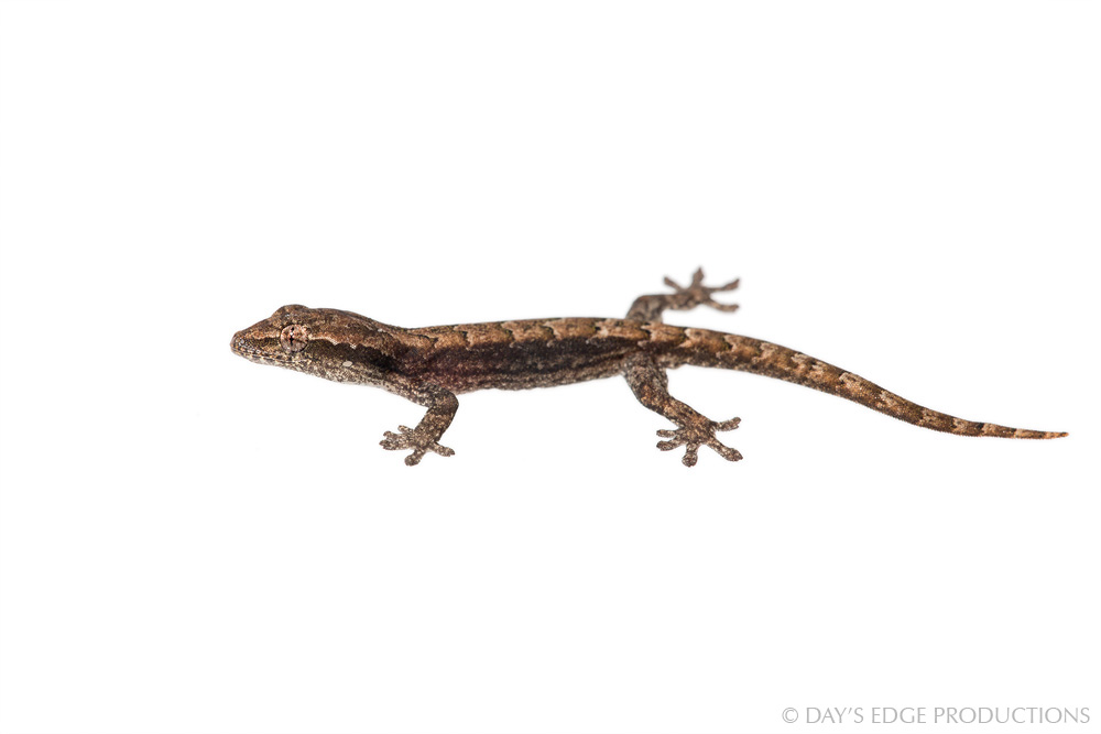 A hatchling Smooth-Scaled Gecko ( Lepidodactylus lugubris ) on Guadalcanal Island, Solomon Islands. There are no males in this species; females produce female offspring via parthenogenesis. Photographed for the Meet Your Neighbours project.