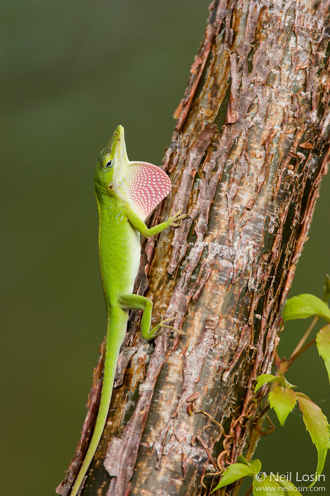A male Green Anole ( Anolis carolinensis ), the only native anole species in North America, displays its pink dewlap in southern Florida.