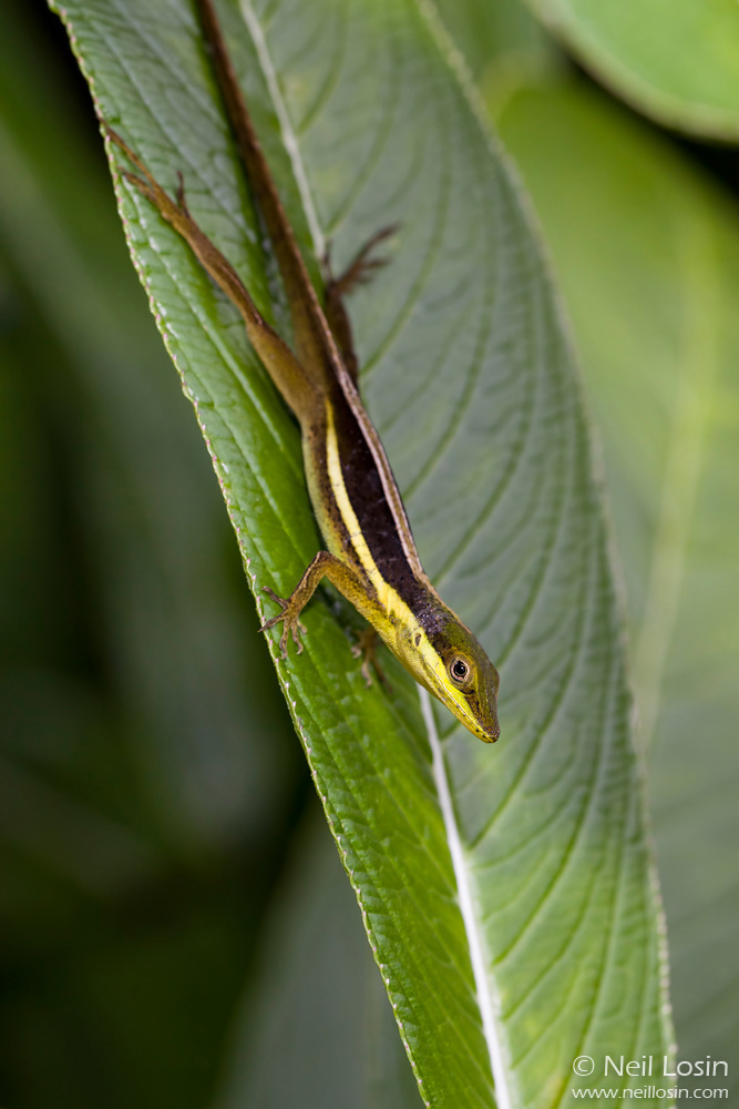 A grass anole ( Anolis krugi ) in El Yunque National Forest, Puerto Rico.