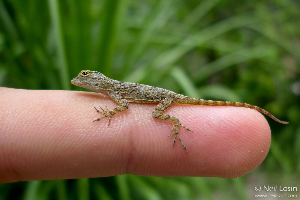 A tiny hatchling Bark Anole ( Anolis distichus ), an invasive species from Hispaniola, photographed in suburban Miami.