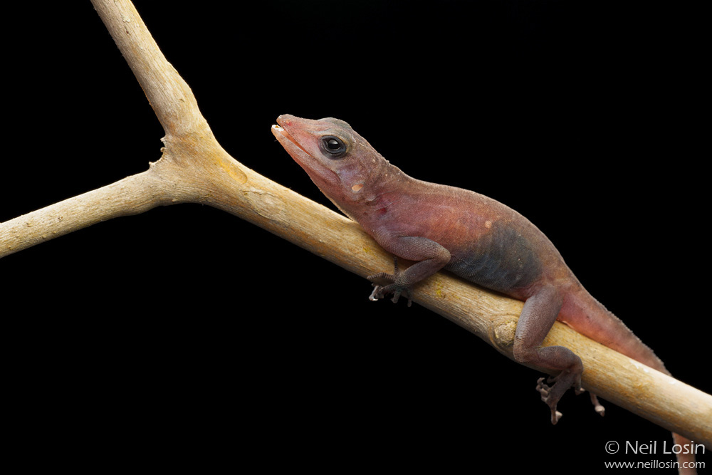 This aberrant male Crested Anole ( Anolis cristatellus ) caught in Miami seems to lack skin pigmentation entirely.