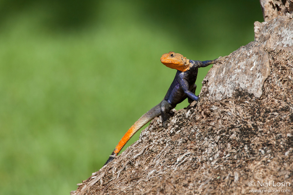 The Common Agama ( Agama agama ), a stunning invasive species from Africa, has become established at a few locations in Miami.