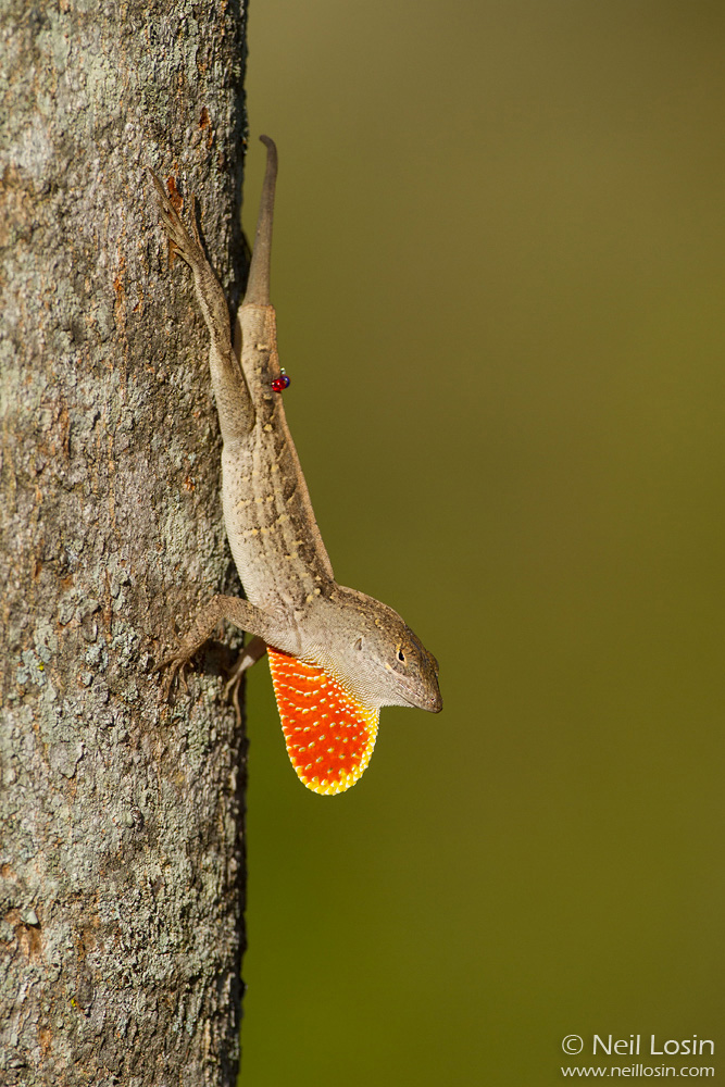A marked adult male Brown Anole ( Anolis sagrei ) in South Miami. Many anoles in my research were marked with tiny colored beads at the base of their tail, visible from a distance through binoculars.