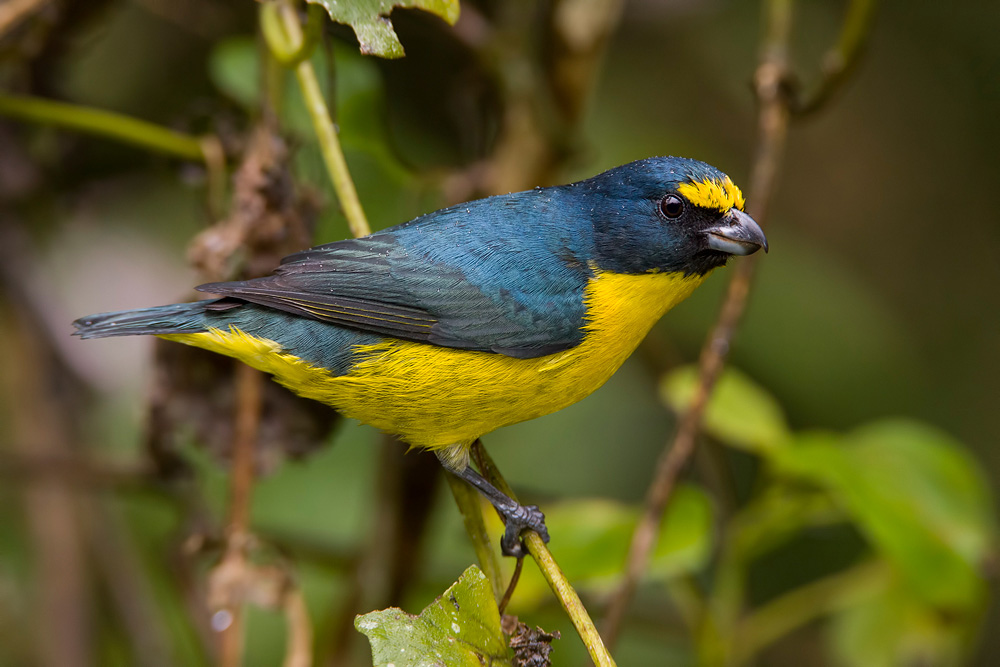 A male Green-chinned Euphonia ( Euphonia chalybea ), an uncommon endemic species in Brazil's Atlantic rainforest.