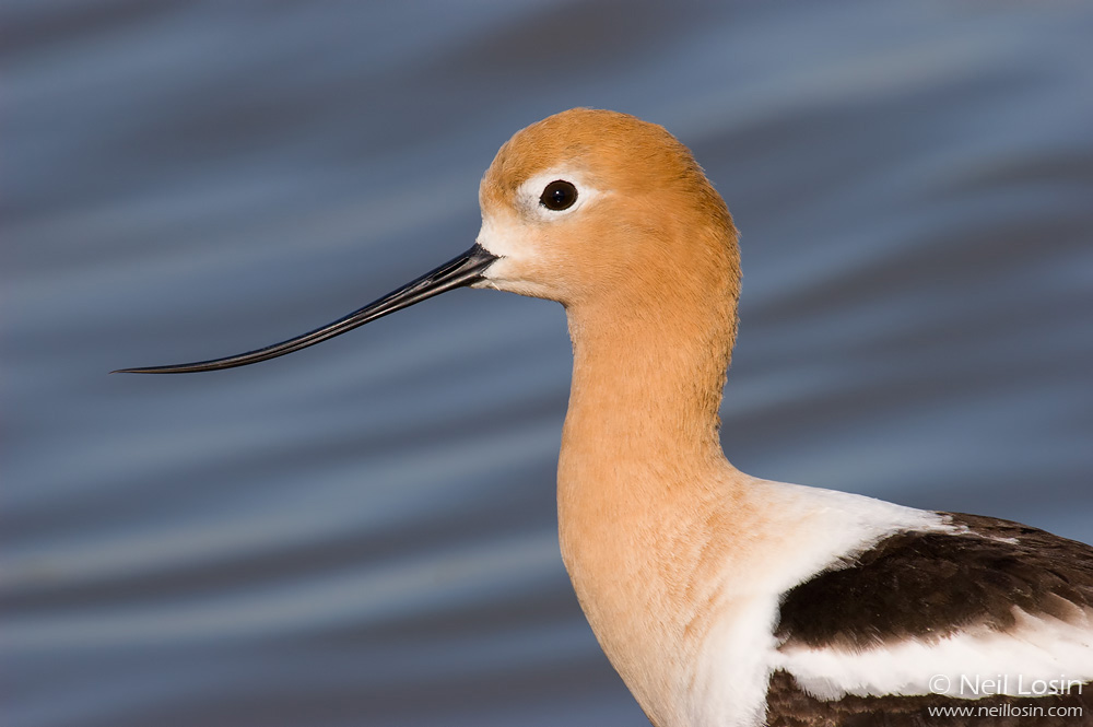 Closeup of a breeding-plumage American Avocet ( Recurvirostra americana ) in a wetland in Davis, California.