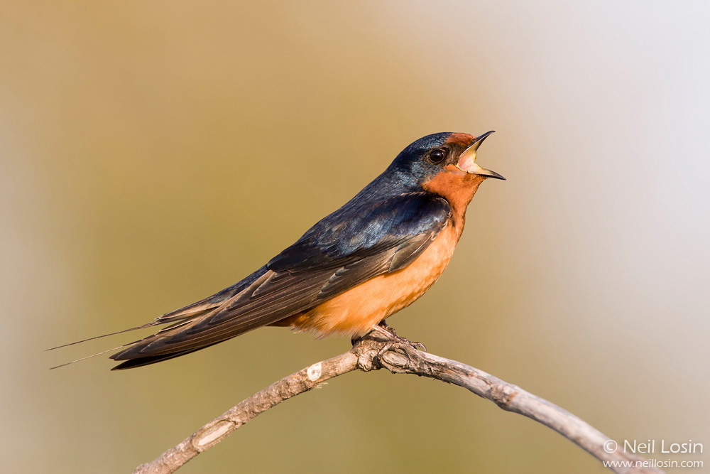A male Barn Swallow ( Hirundo rustica ) sings in a coastal marsh in southern California.