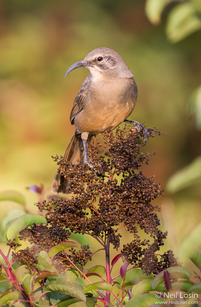 A California Thrasher ( Toxostoma redivivum ) perches ona Laurel Sumac inflorescence in the southern California chaparral.