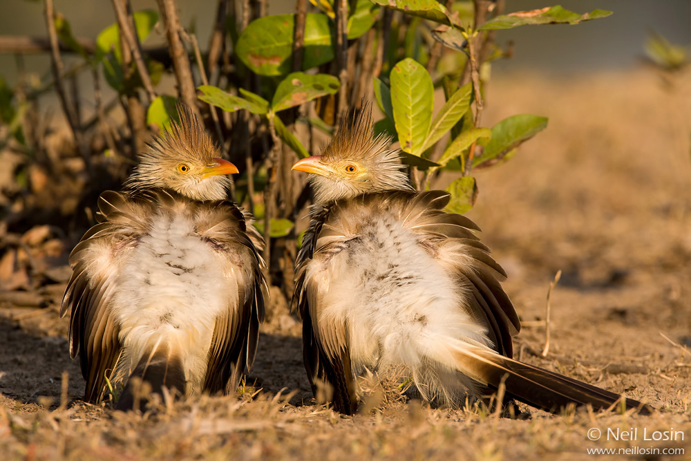 Two Guira Cuckoos ( Guira guira ) sunbathe in the Pantanal, Brazil. This species is highly social, often moving around the woodlands of the Pantanal in large groups.