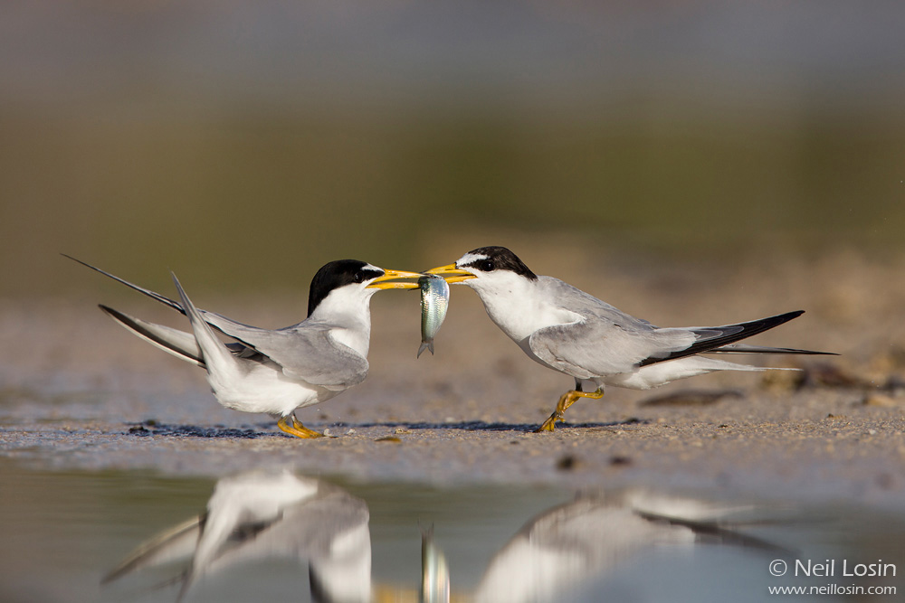 Two Least Terns ( Sternula antillarum ) exchange a fish as part of courtship in a coastal wetland in southern Florida.