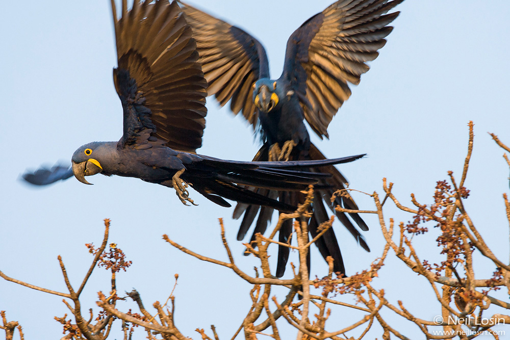 A pair of endangered Hyacinth Macaws ( Anodorhynchus hyacinthinus ) in flight in the Pantanal, Brazil.