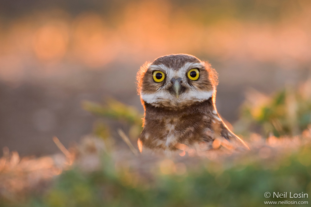 An adult burrowing owl ( Athene cunicularia ) emerges from its burrow at sunset at Wildhorse Golf Course in Davis, California.