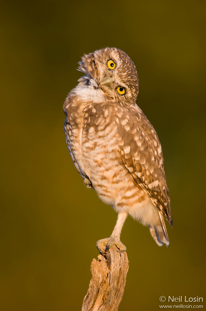 An adult burrowing owl ( Athene cunicularia ) curiously cocks its head at Wildhorse Golf Course in Davis, CA, USA.