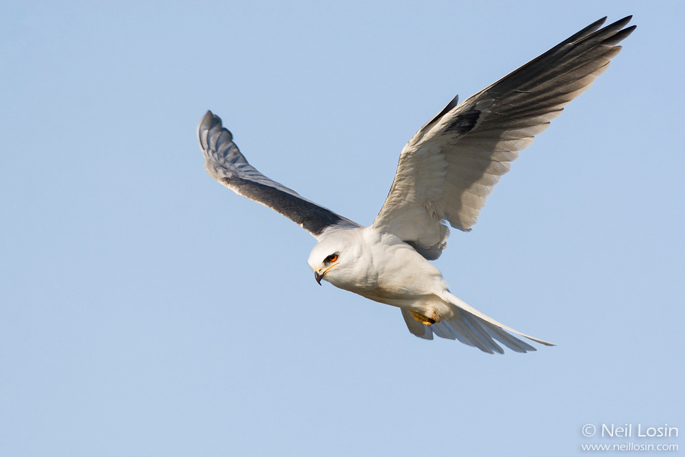 A White-tailed Kite ( Elanus leucurus ) hovers above the southern California coast.
