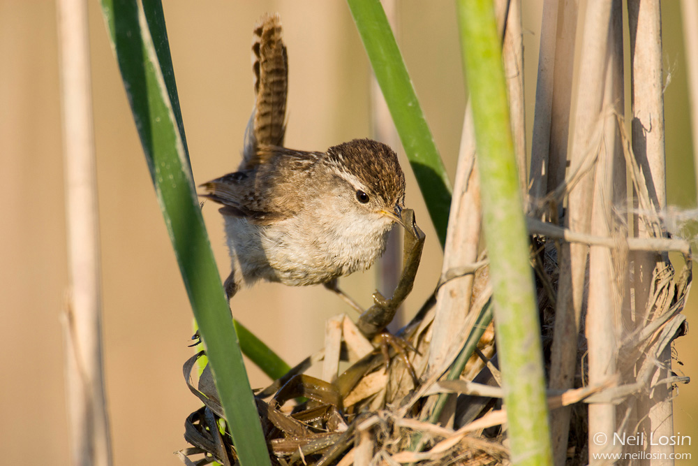 A Marsh Wren ( Cistothorus palustris ) adds some wet reeds to a nest it is building in a central California wetland.
