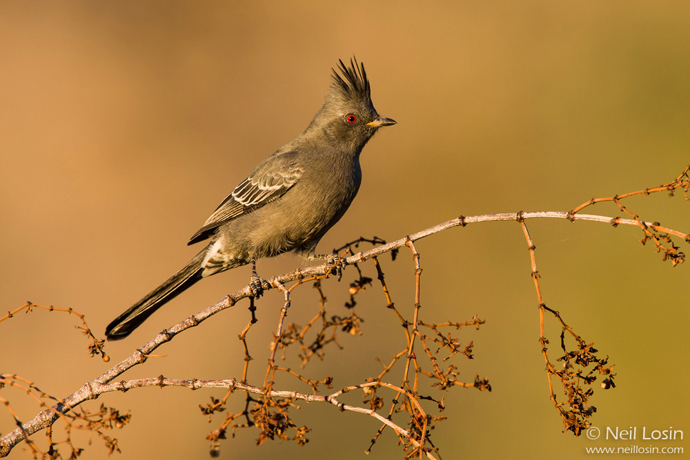 A female Phainopepla ( Phainopepla nitens ) in the southern California desert.
