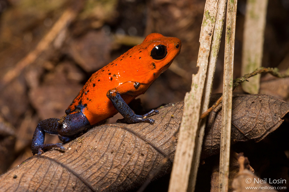 A Strawberry Poison Dart Frog ( Oophaga pumilio ) on the rainforest floor at La Selva Biological Station, Costa Rica.