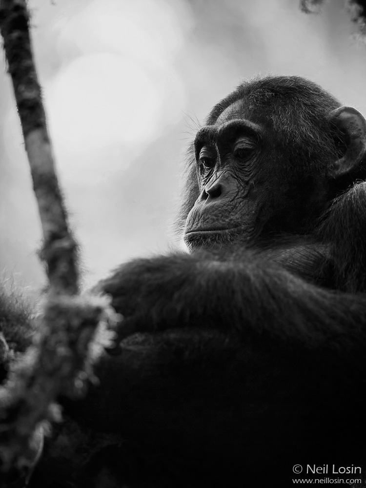 A young male Chimpanzee ( Pan troglodytes ) contemplates his hands in Kibale National Park, Uganda.
